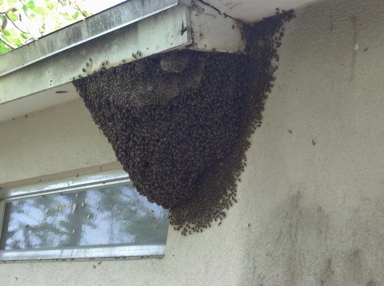 huge bee nest
